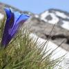 Genciana alpina