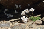 Saxifraga nevadensis