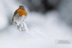 Petirrojo tras la nevada