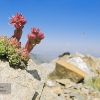 Siempreviva de Sierra Nevada