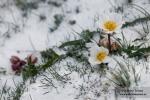 Ranunculus acetosellifolius