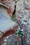 Saxifraga nevadensis (II)