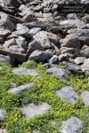 Ranunculus demissus y cascajar