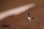 Collalba gris en vuelo